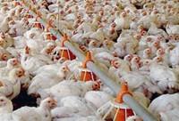 Brasil vai recorrer à OMC contra embargo da União Europeia à carne de frango