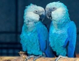 Ararinhas-azuis devem voltar ao Brasil no início de março
