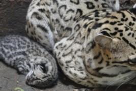 Zoobotânico registra nascimento de Jaguatiricas